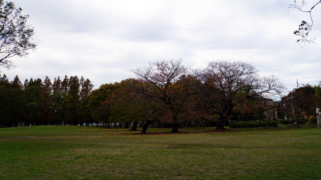 都立篠崎公園 秋の風景(桜の木)