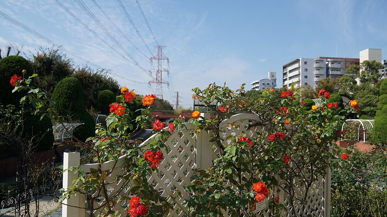 画像 フラワーガーデンの秋バラ