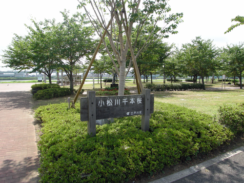 画像 小松川千本桜 夏の風景