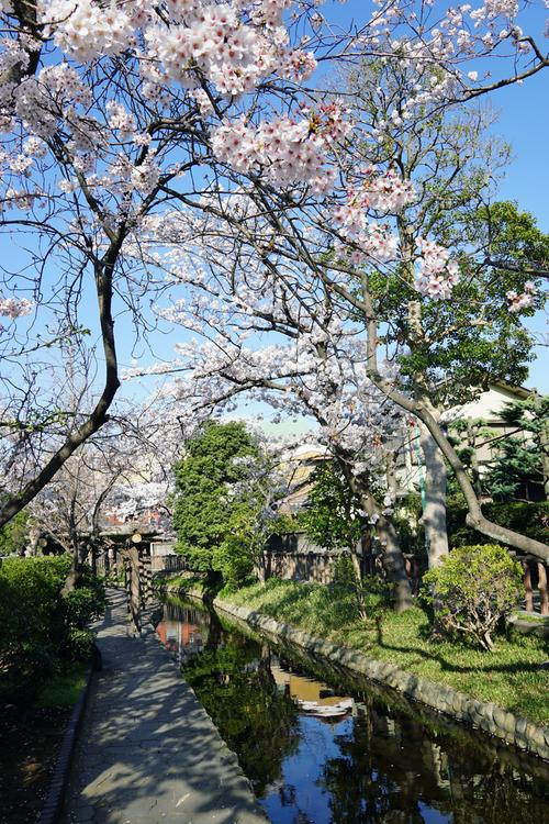古川親水公園の春の風景(桜)