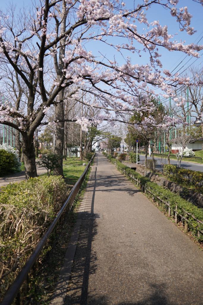 画像 本郷用水親水緑道の桜