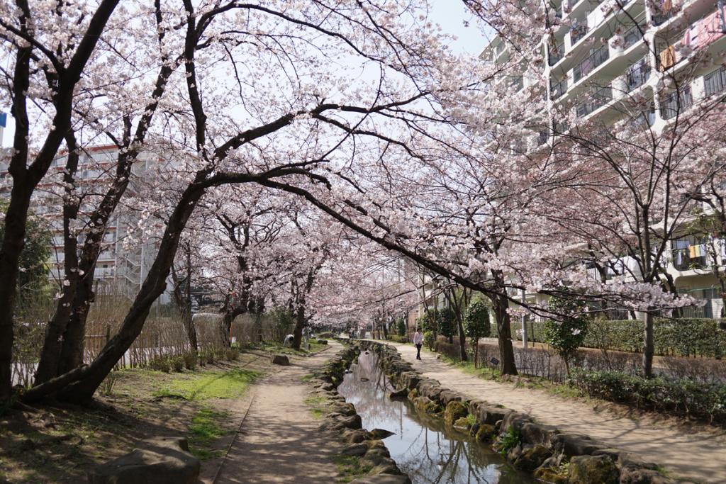 篠田堀親水緑道の桜