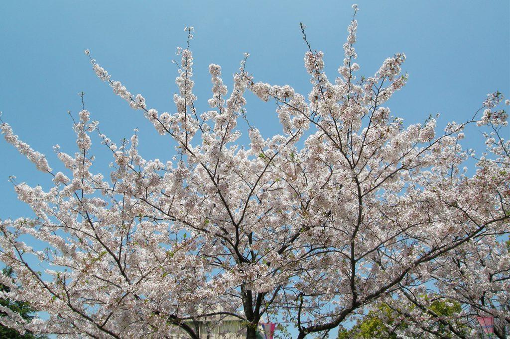 画像  小松川境川親水公園 春の風景