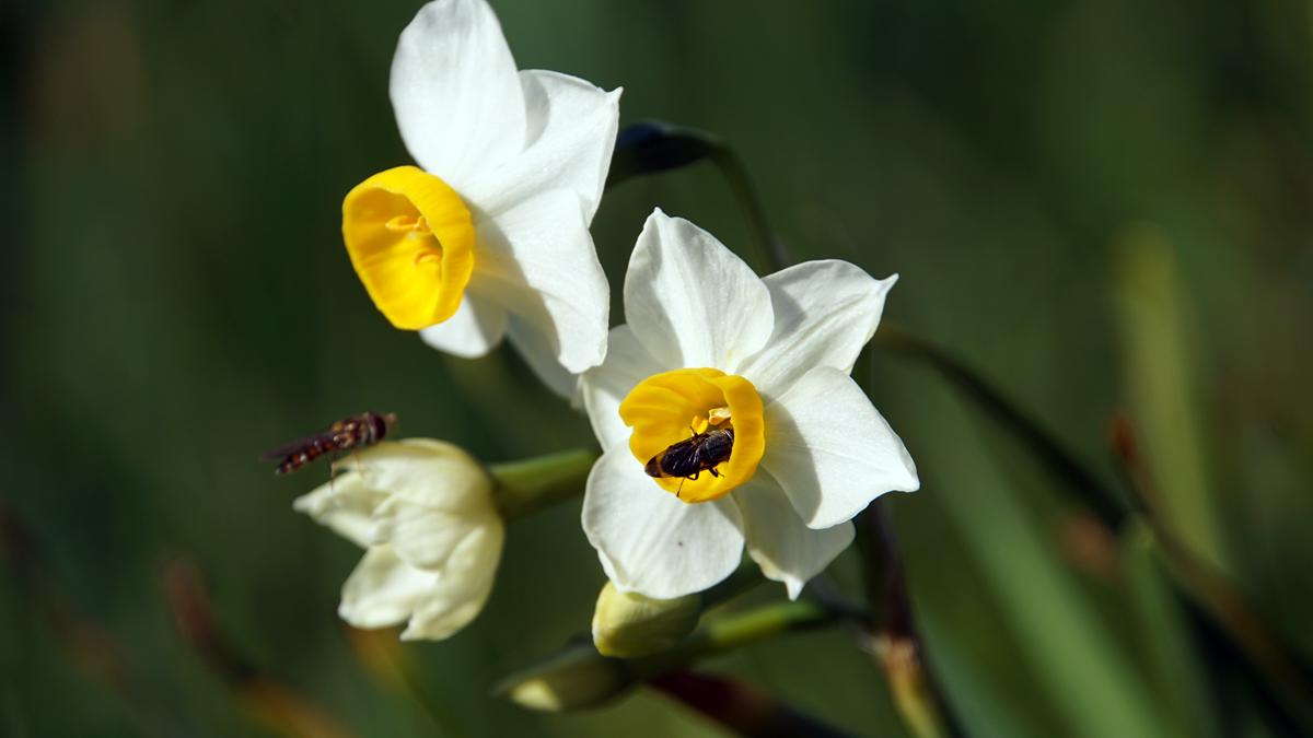 葛西臨海公園 水仙の花から蜜をとる蜂