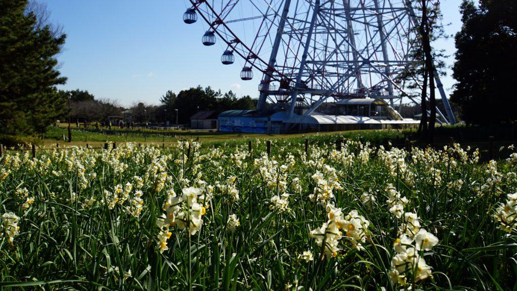 葛西臨海公園の水仙(観覧車裏の花壇)