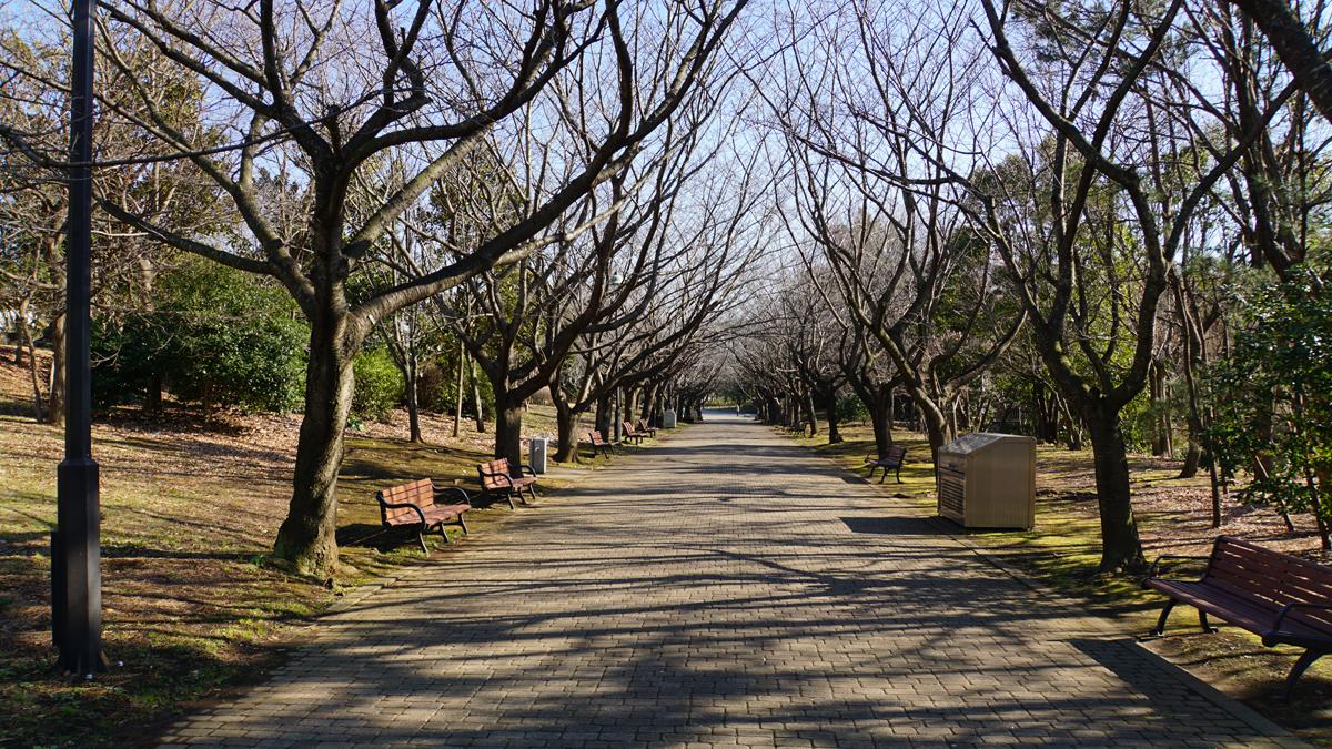 葛西臨海公園の冬の桜並木