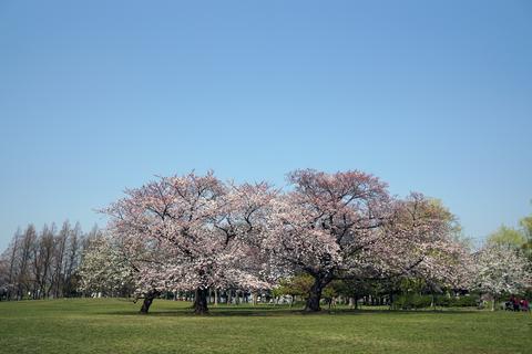 都立篠崎公園 春の風景(桜の木)
