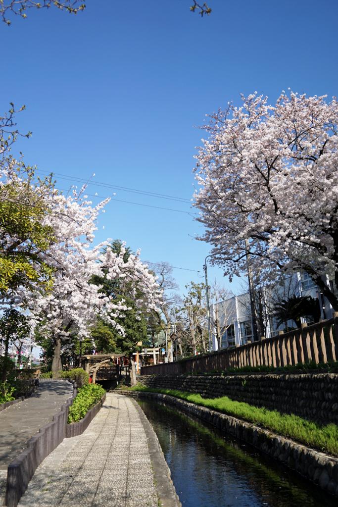 画像  桜の季節の古川親水公園