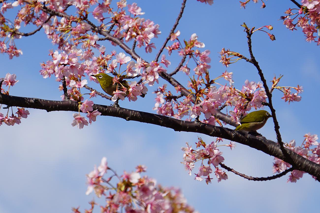 画像 旧中川の河津桜3