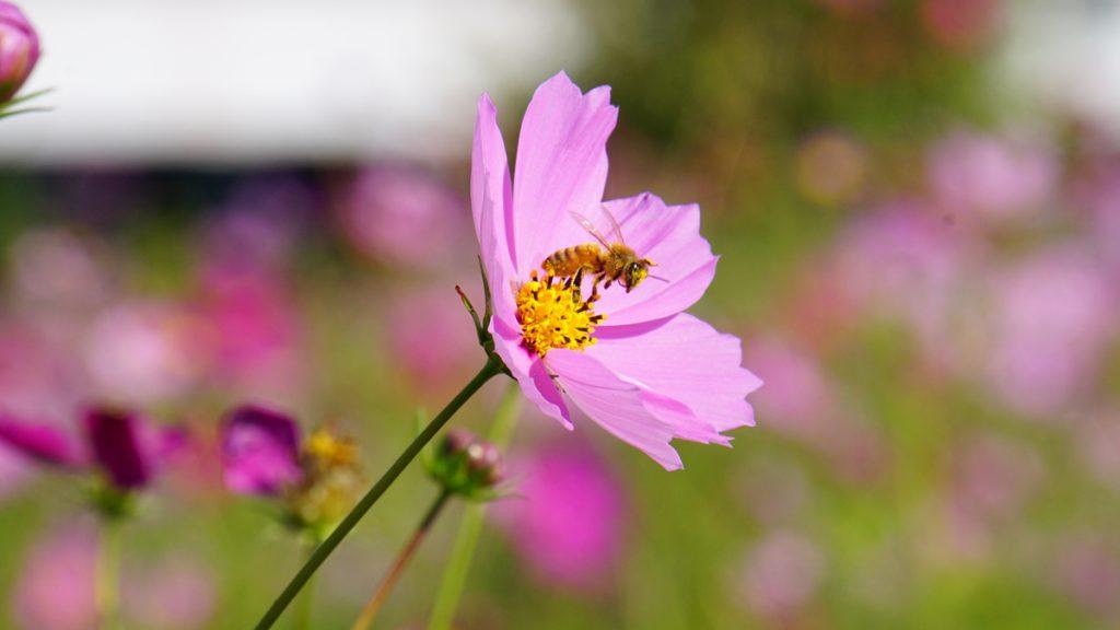 画像 荒川河川敷のコスモスと蜂