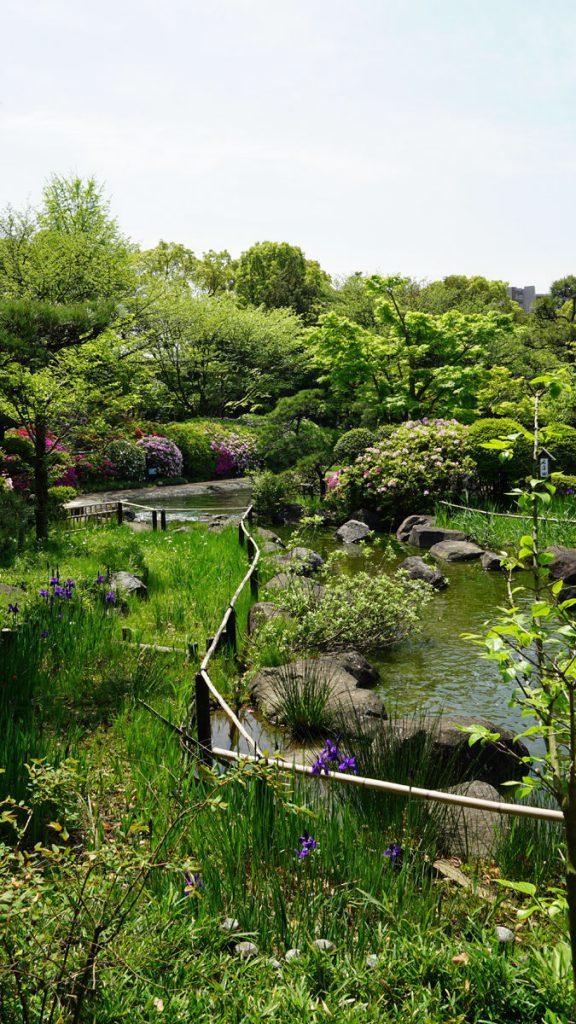 平成庭園の花菖蒲