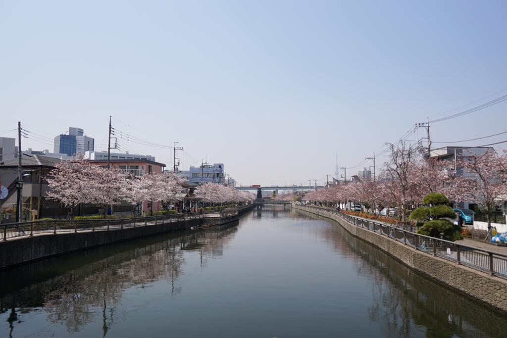 新川 千本桜