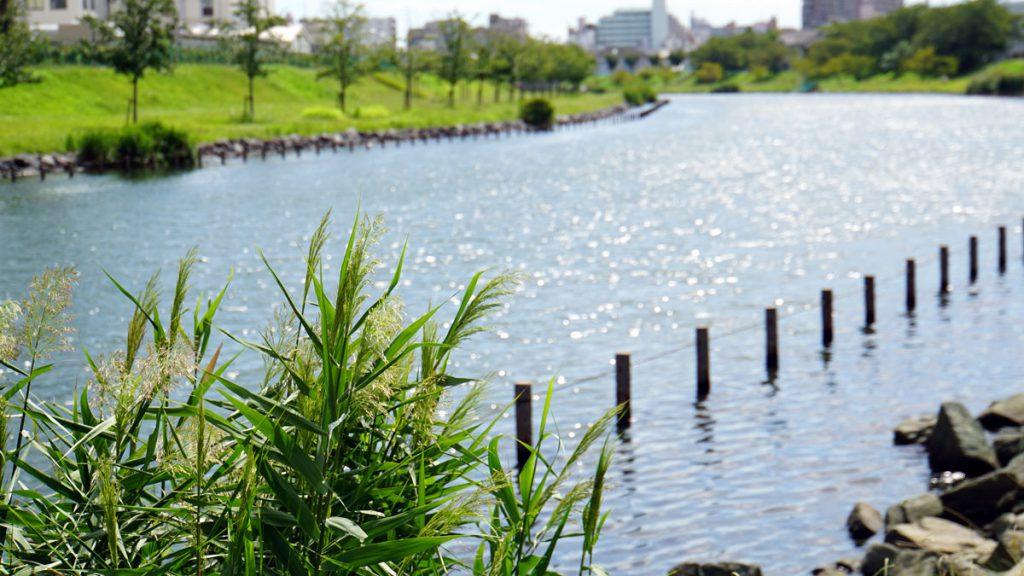 画像 旧中川のススキ