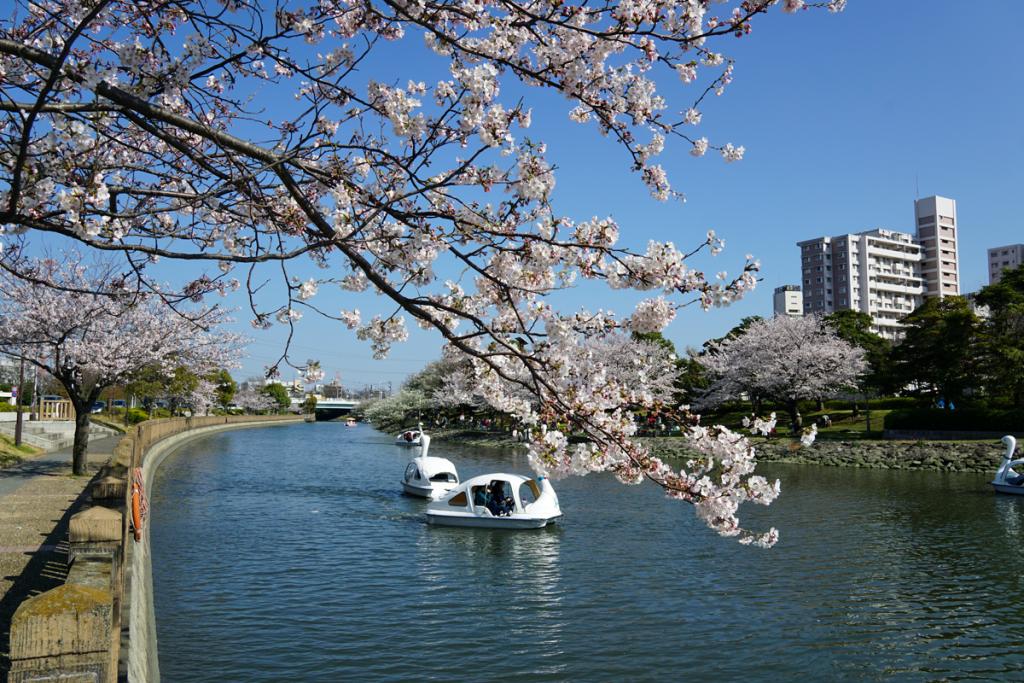 画像 新左近川親水公園の桜とスワンボート