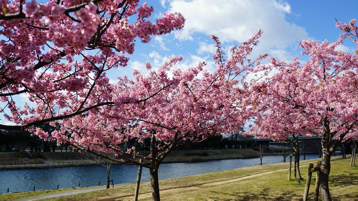 旧中川の河津桜の風景