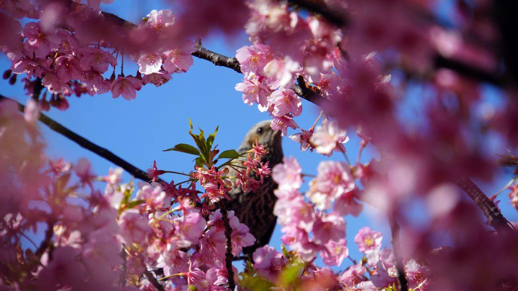 画像 旧中川の河津桜の風景