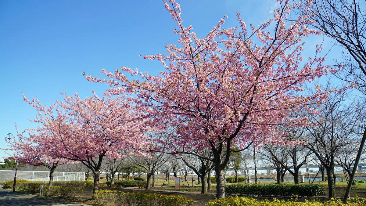 画像 小松川千本桜 河津桜