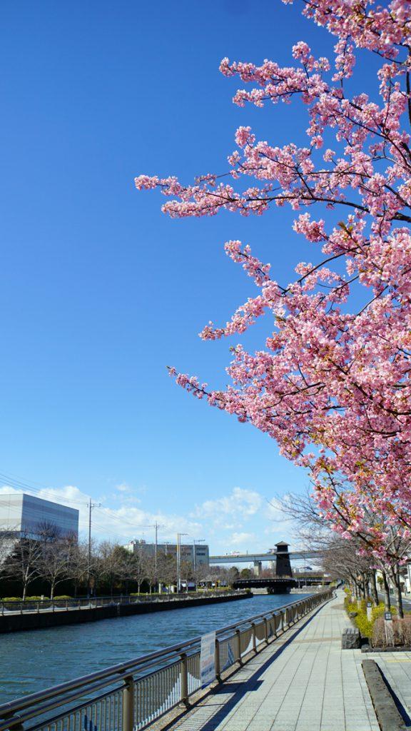 河津桜と火の見櫓