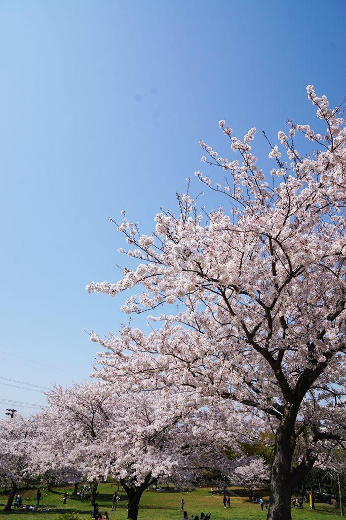 画像 なぎさ公園のソメイヨシノ
