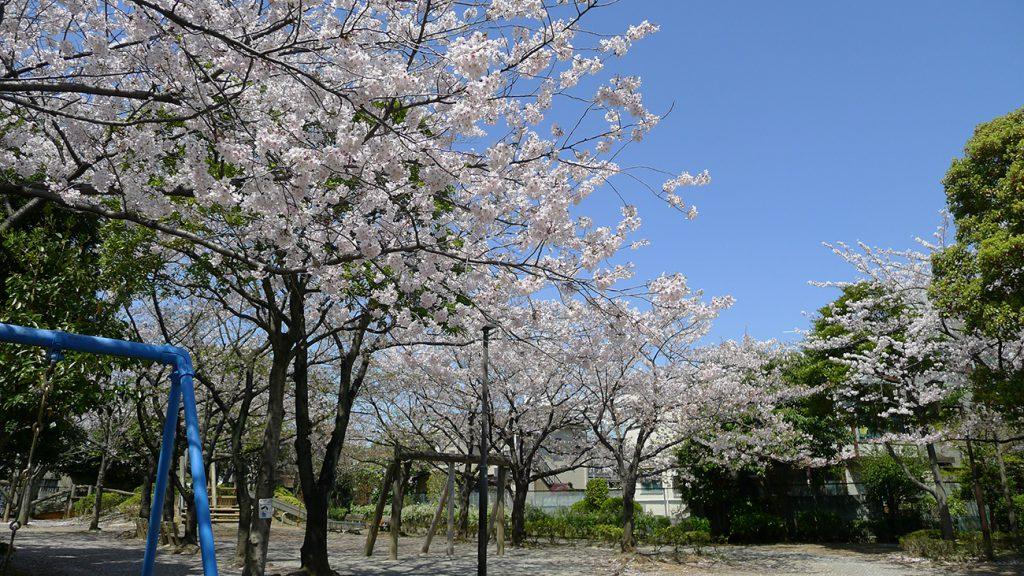 画像 平井公園の桜