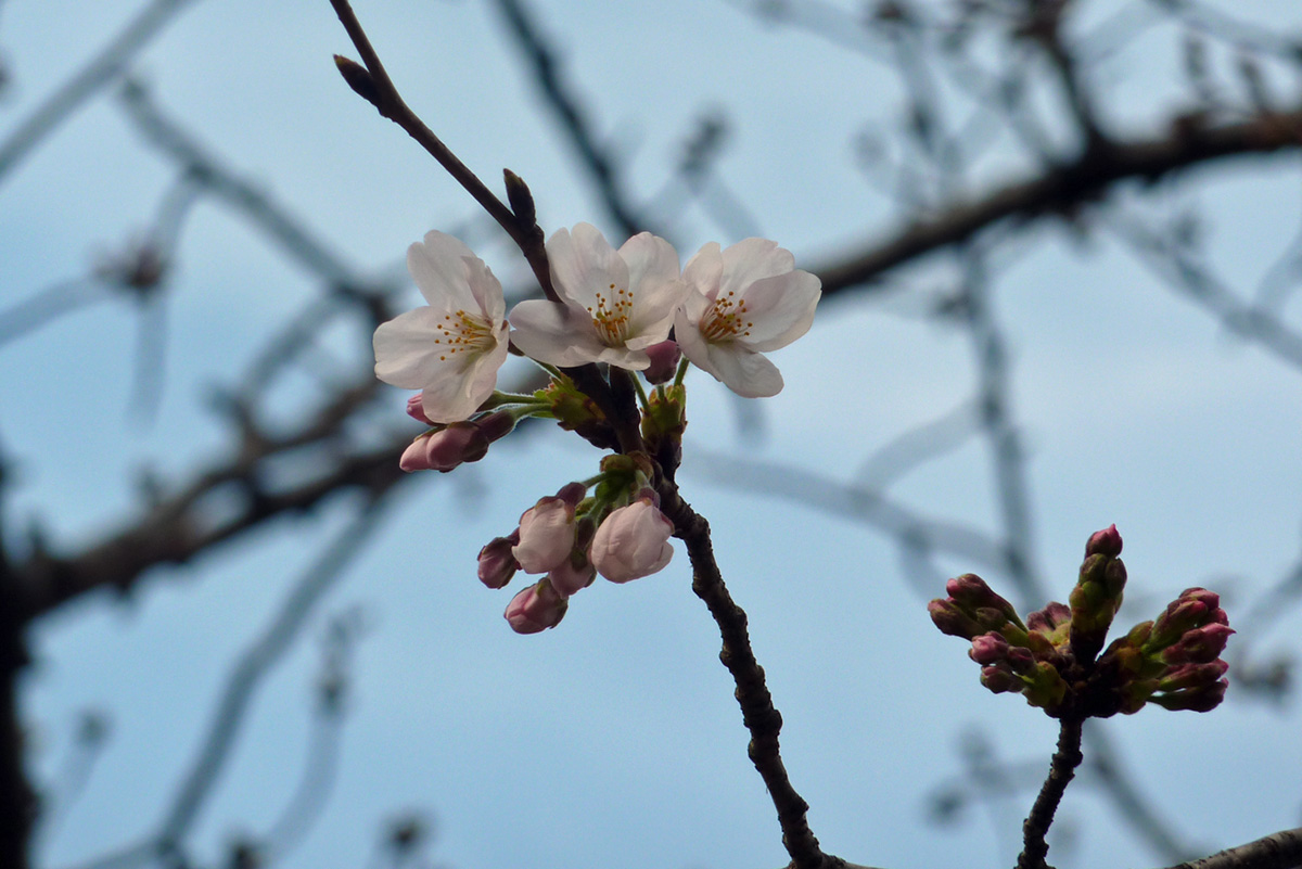 中央森林公園の桜