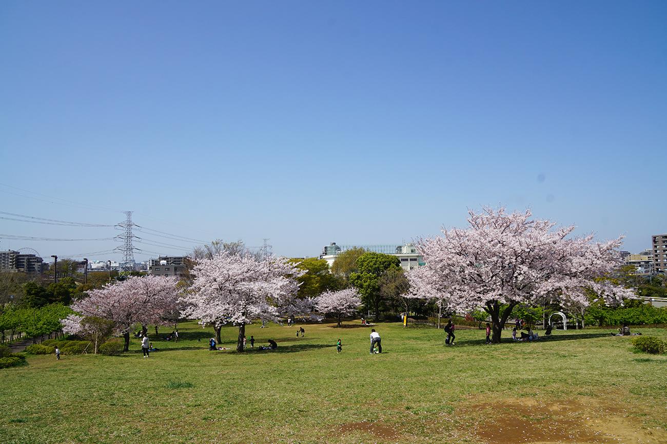 画像 なぎさ公園の桜