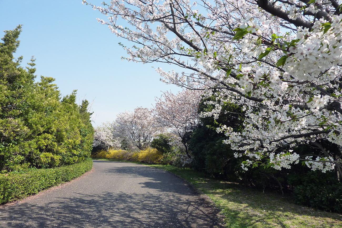 画像 葛西臨海公園の桜
