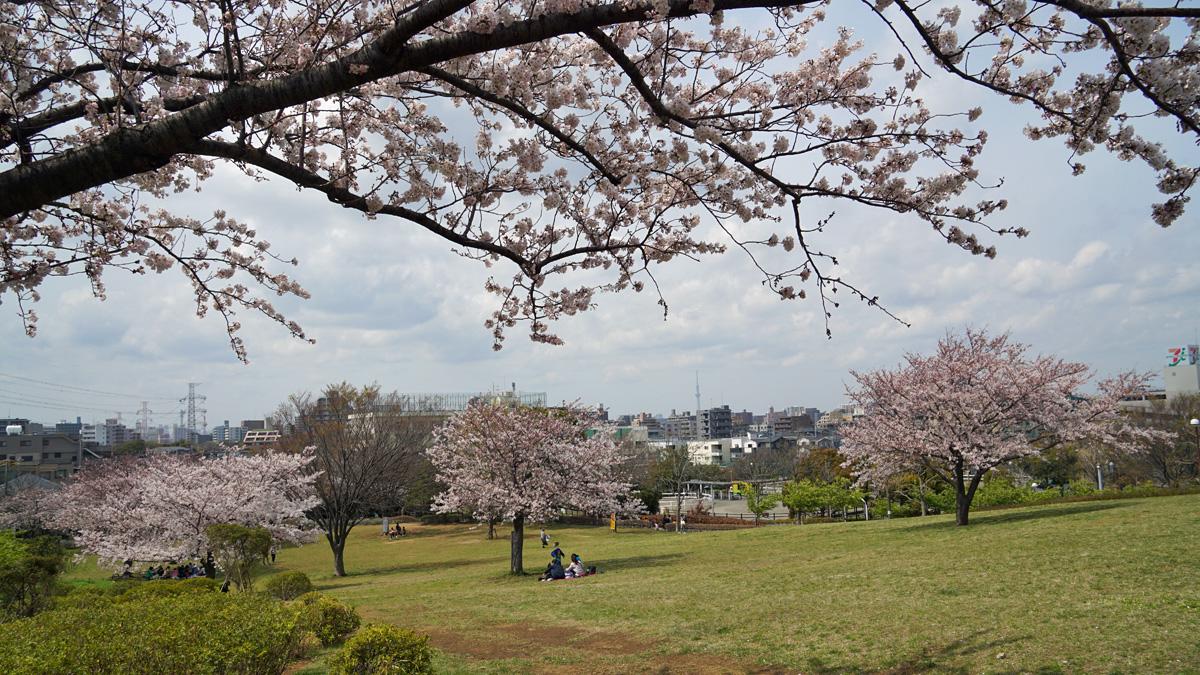 なぎさ公園の桜