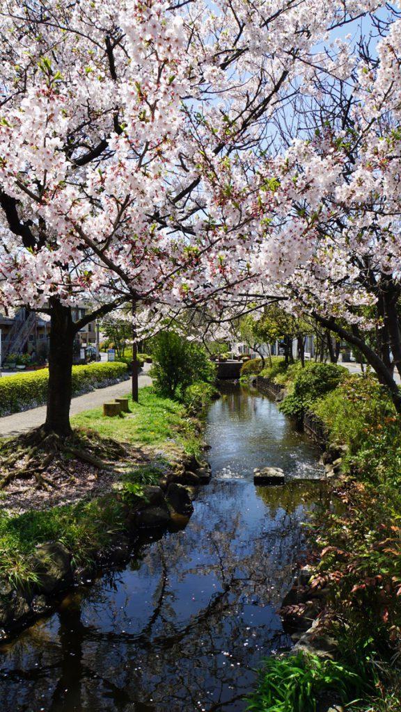 一之江境川親水公園の桜