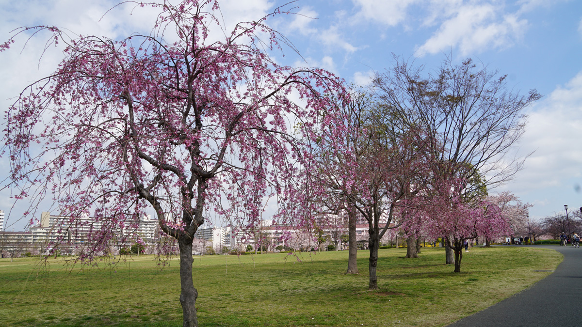 画像 大島・小松川公園の桜