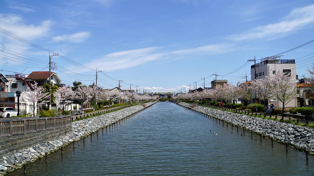 画像 新川千本桜 新川東水門