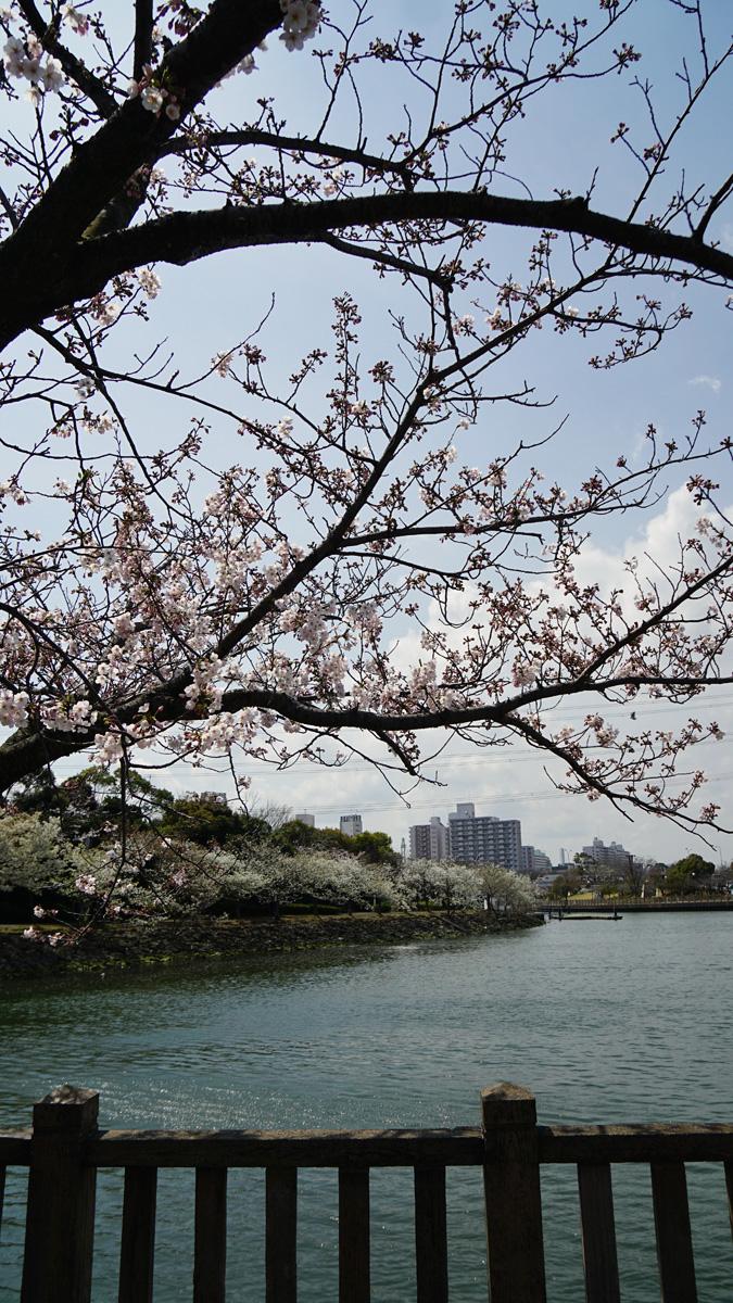 画像 新左近川親水公園の桜