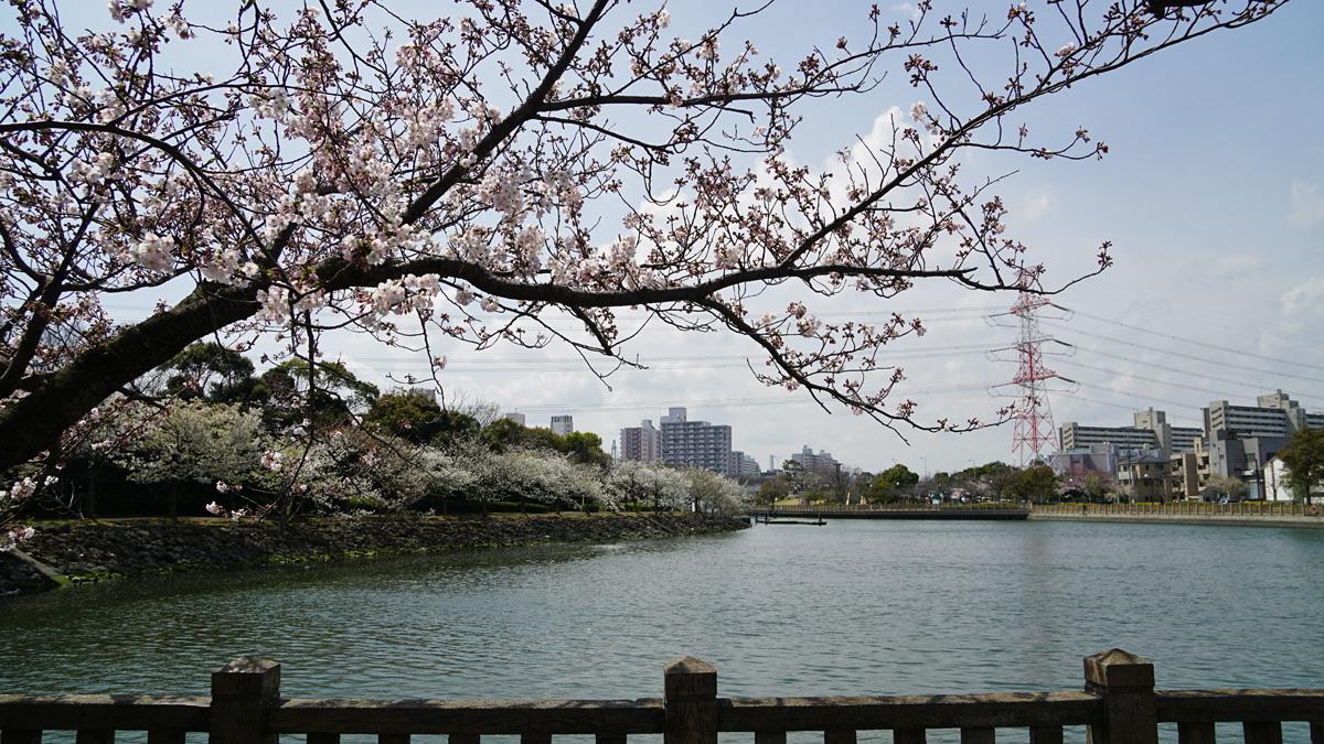 新左近川親水公園の桜