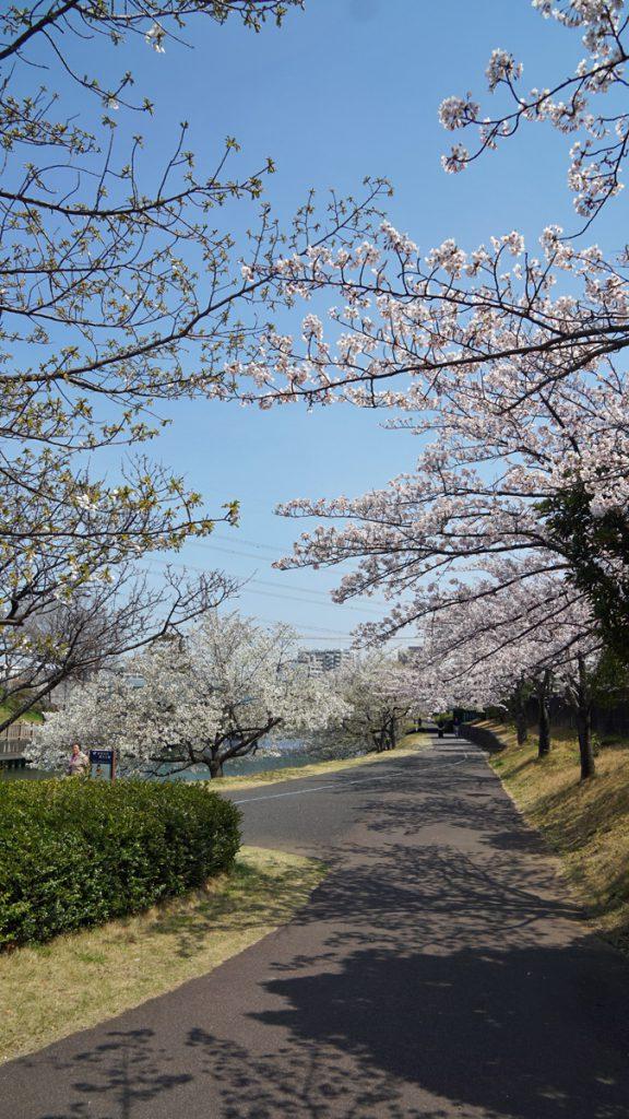 画像 新左近川の桜