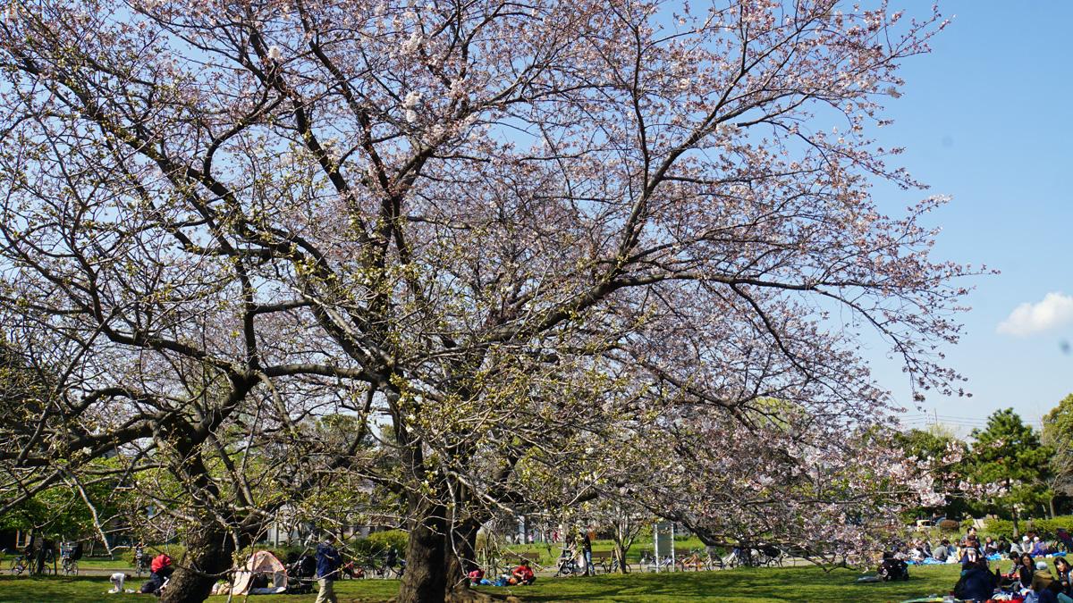 篠崎公園の桜の開花状況
