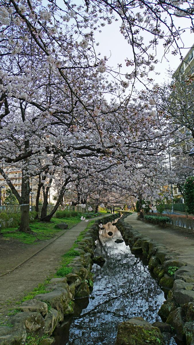 画像 篠田堀親水緑道の桜