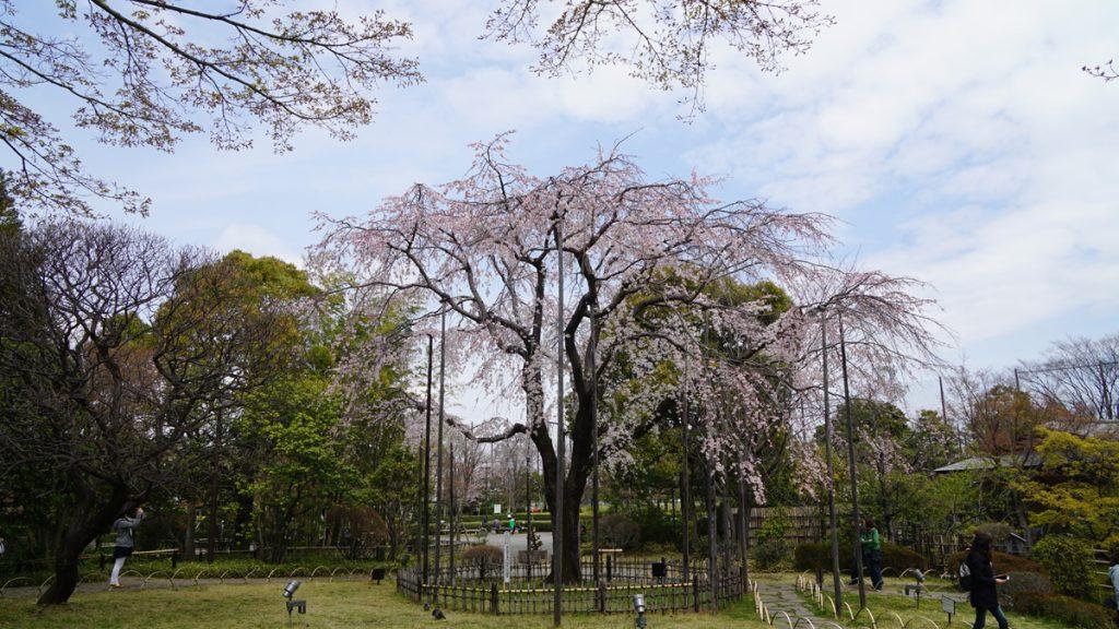 画像 行船公園の桜