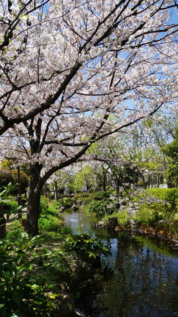 一之江境川親水公園の桜 散り始め