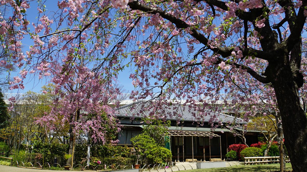 一之江抹香亭の枝垂桜