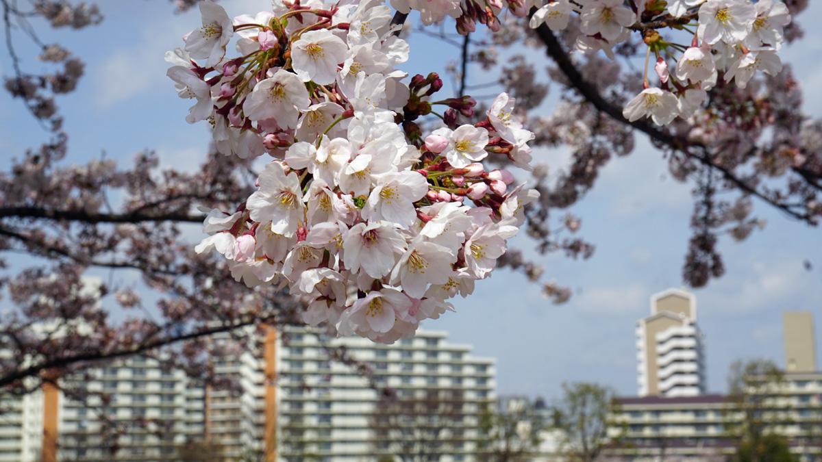 画像 大島・小松川公園の桜4