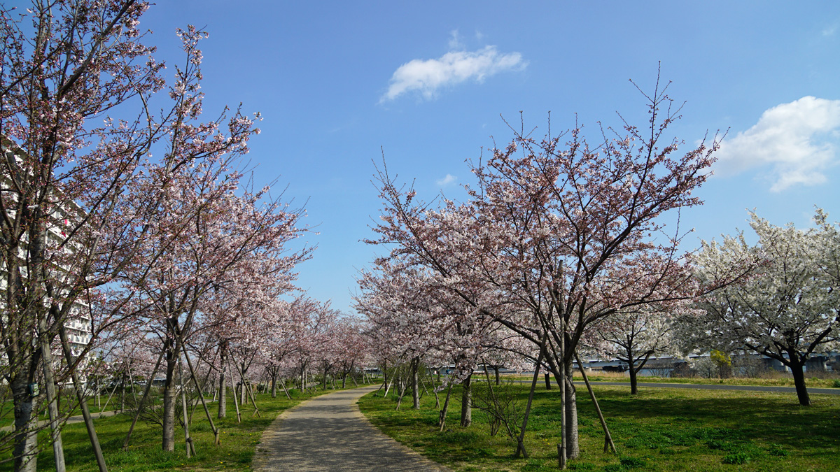 小松川千本桜