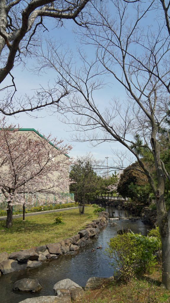左近川親水緑道の桜