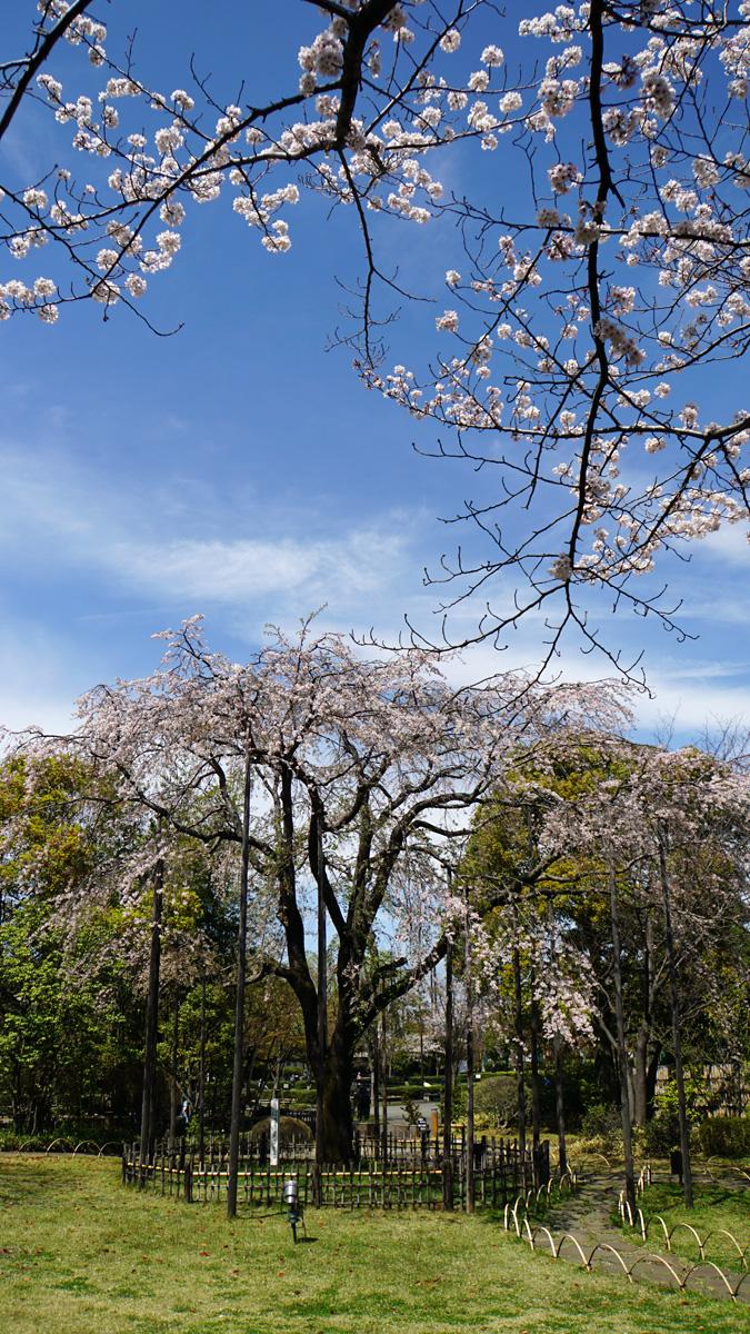 画像 行船公園 平成庭園の枝垂桜