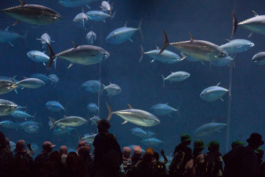 画像 クロマグロの群泳