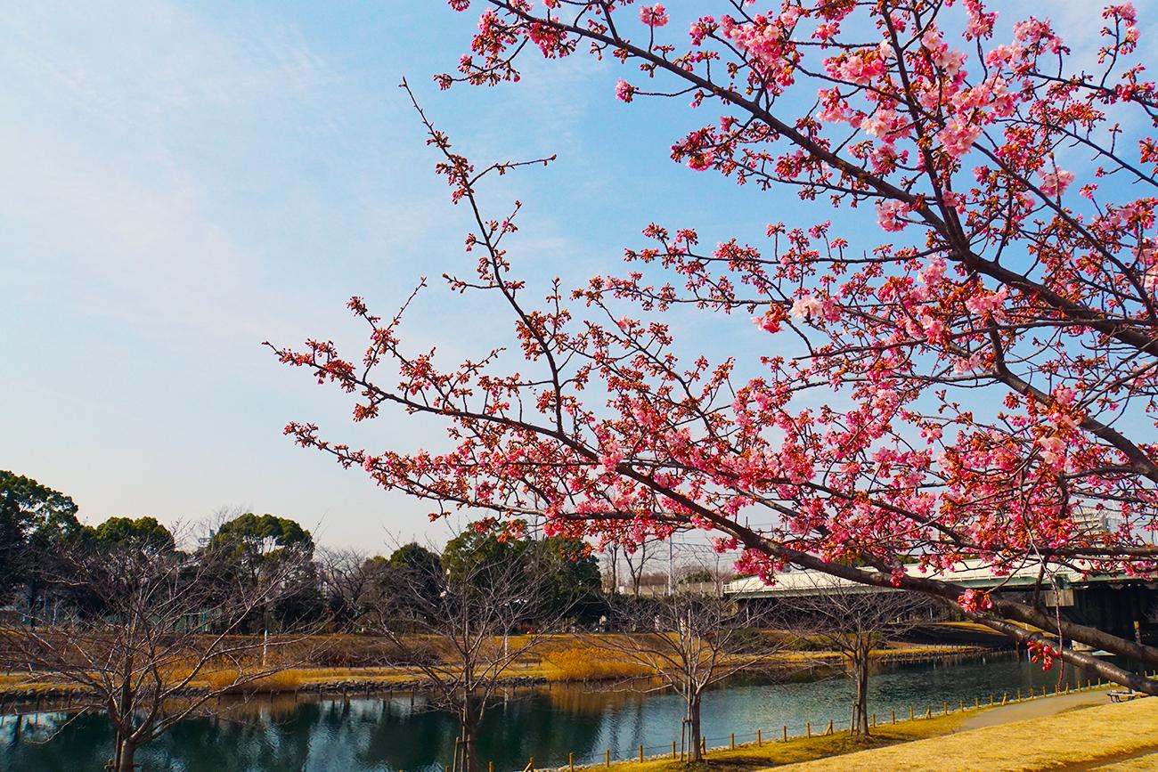 画像 2018年2月の河津桜3(旧中川)