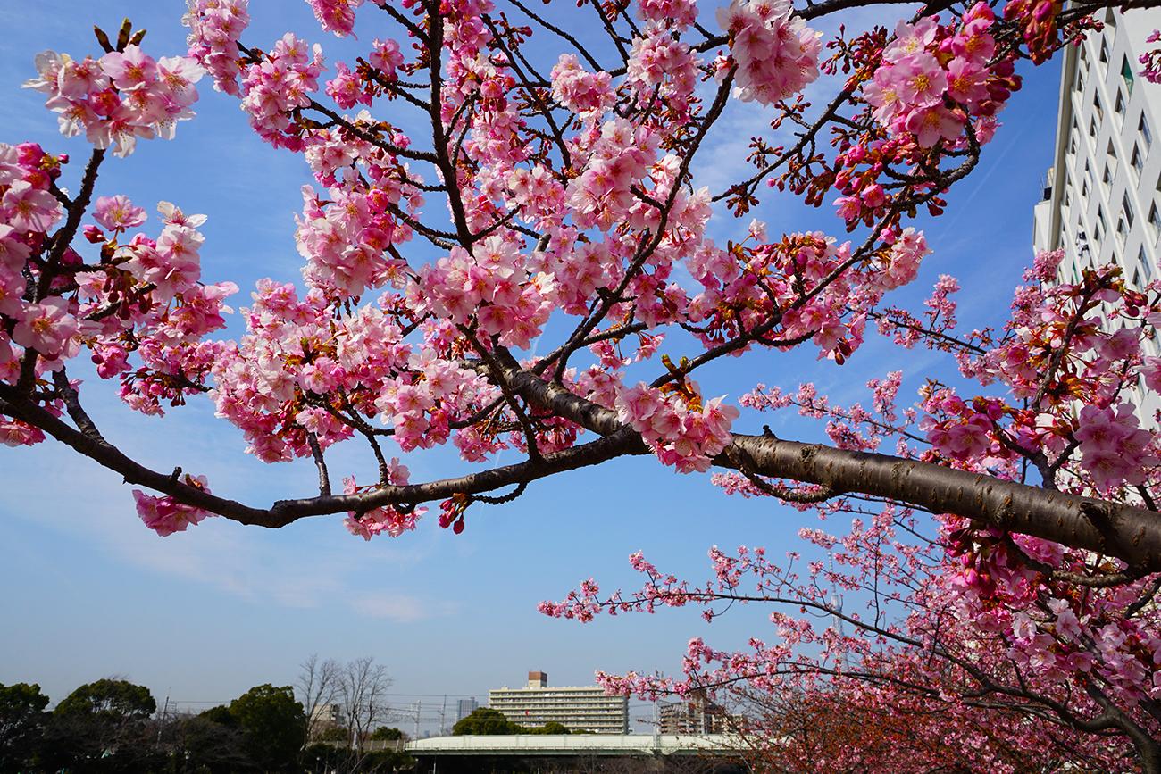 画像 2018年2月の河津桜(旧中川)