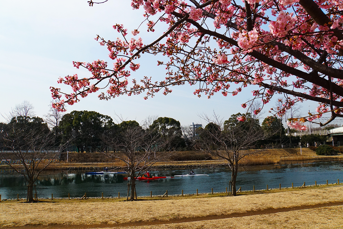 画像 旧中川 河津桜 2018年2月