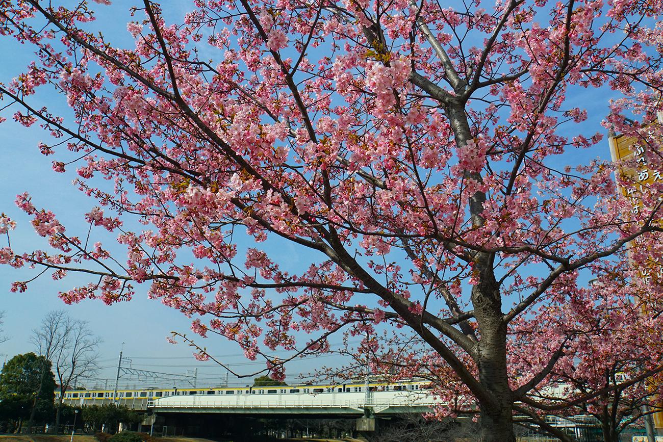 画像 旧中川 河津桜
