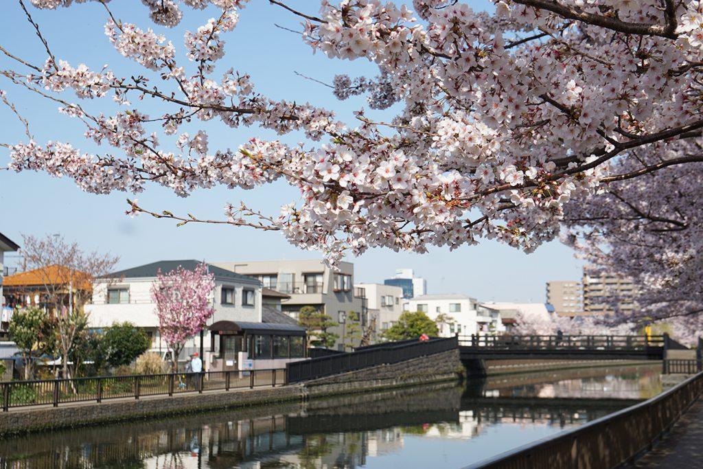 画像 新川千本桜の風景
