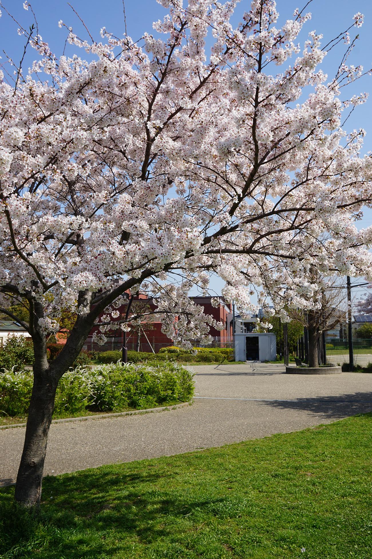 画像 宇喜田公園の桜